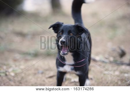 Barking dog. Border collie bark, he has mouth open like trying to catch something and he is looking with big eyes.