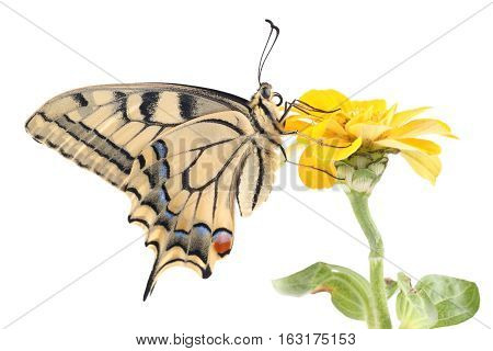 Old World Swallowtail (Papilio machaon) butterfly perched on a flower Zinnia all on a white background