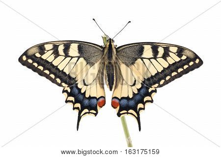 Old World Swallowtail (Papilio machaon) butterfly perched on a twig all on a white background