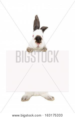 Portrait of a white albino rabbit, standing with a banner, isolated on white background