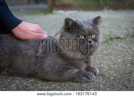 hand stroking big British Fold cat outside.