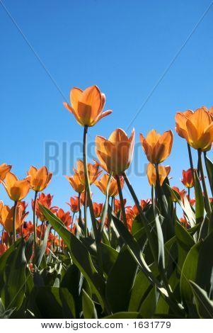 Orange Tulips 3