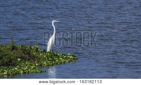 Great egret in Thabbowa sanctuary, Puttalam,Sri Lanka ; Specie Ardea alba family of Ardeidae