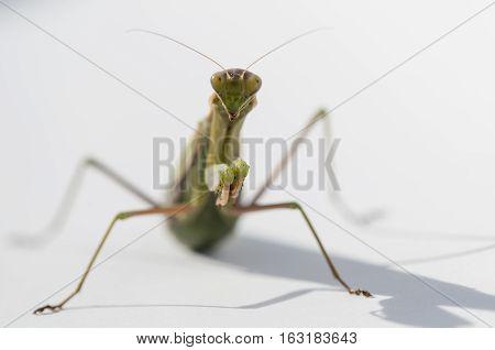 Close up of female praying mantis under the sun on white background