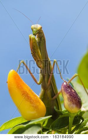 Close up of female praying mantis under the sun on colorful background