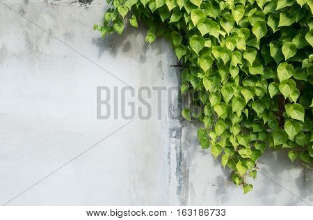background with tree branches Green leaf and background conceptbeautiful green ivy leaf on white cement wall background