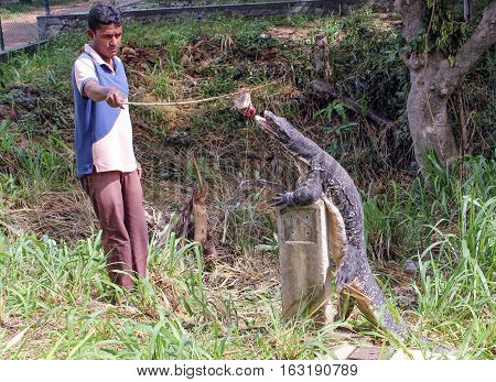 POLONNARAWA, SRI LANKA-DEC.2, 2014: A young man feeds a water monitor, one of the most common monitors in Southern Asia, for passing tourists.