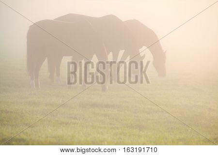 horses graze on pasture in morning fog