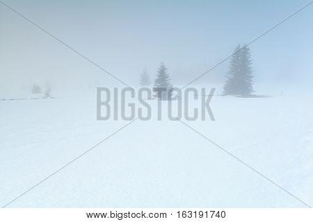 spruce trees on snow in dense winter fog