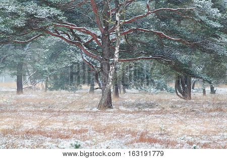 pine and birch trees in snow Drenthe Netherlands