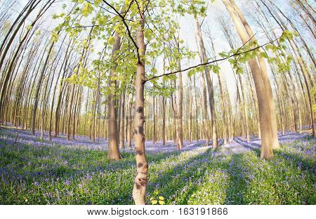 spring forest with many flowers Hallerbos Belgium