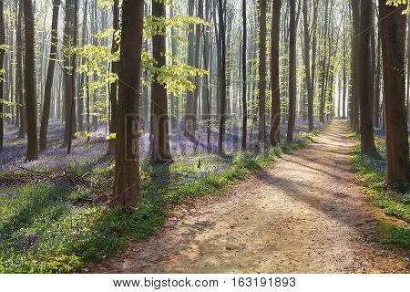 hiking path in spring flowering forest during sunny morning