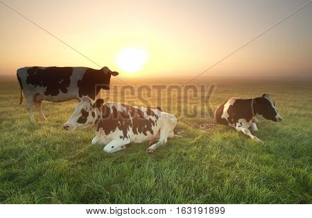 cows on misty pasture at sunrise in summer