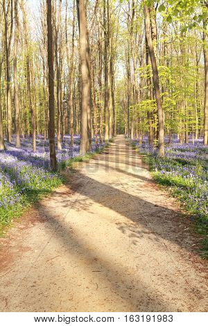 walking path in sunny flowering forest Hallerbos Belgium