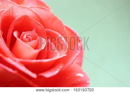 Beautiful red rose close up as a background