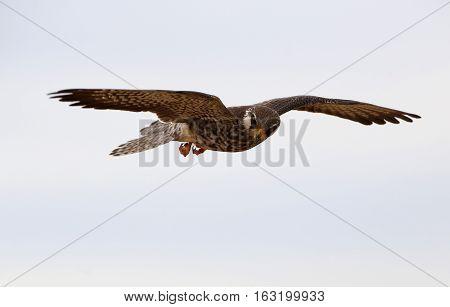 Amur Falcon (Falco amurensis), bird of prey or raptor poster