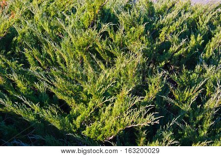 Natural background of the evergreen juniper bush