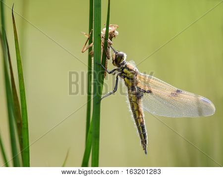 Dragonfly hanging its wings to dry between the grass with its old skin still above it