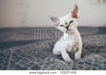 Beautiful Devon Rex point tabby little kitten is sitting on a soft blanket. Cat is feeling relaxed and comfortable. Friendly kitten looking at camera with curiosity expression.