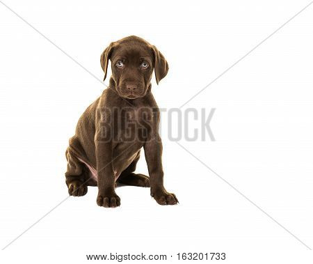 Cute looking brown labrador puppy dog with blue eyes sitting isolated on a white background facing the camera