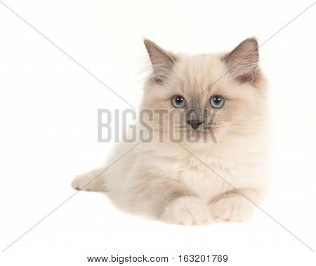 Pretty ragdoll baby cat kitten with blue eyes lying down isolated on a white background