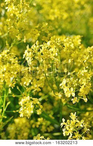 Barbarea vulgaris flowers close up selective focus