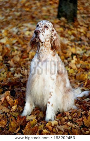 Pure breed english setter portrait - white spotty big furry dog of hunting breed sitting in city park on orange autumn leaves background in vintage style