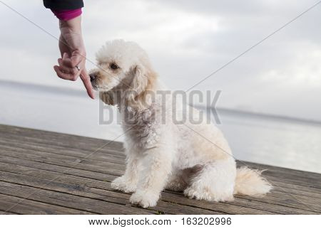 white poodle mongrel sits on wood planks and snuffles on a human hand