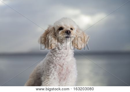 white poodle mongrel portrait on blue background