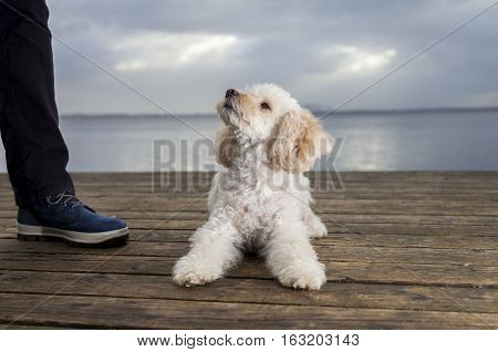 white poodle mongrel lies on wood planks and looks to his owner
