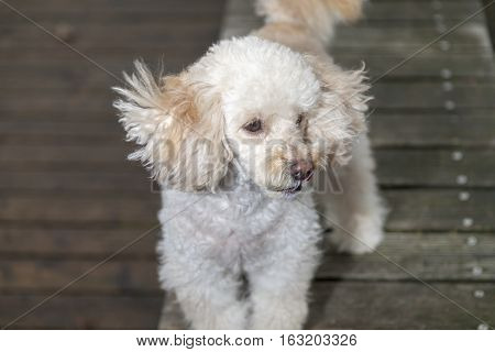 white poodle mongrel stands on wood planks