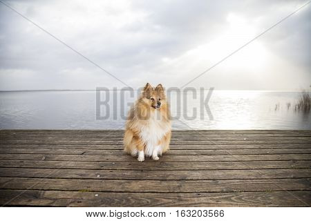 brown Shetland Sheepdog looks to his owner