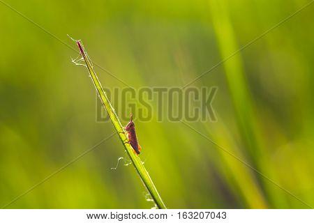 Little grasshopper sitting on the green leaf