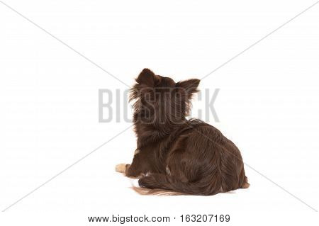 Pretty brown chihuahua adult dog lying down looking up seen from the back isolated on a white background
