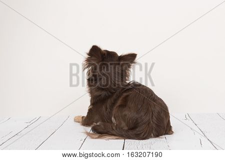 Pretty brown chihuahua adult dog lying down looking up seen from the back lying on a wooden floor staring at a white wall