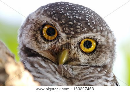 Spotted owlet Athene brama Birds Close Up