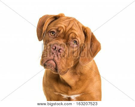 Cute bordeaux dogue portrait facing the camera on a white background