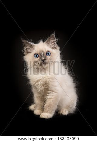Rag doll baby cat kitten with blue eyes facing the camera sitting in front of a black background