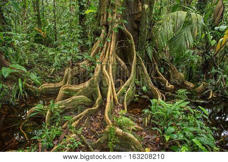 Winding roots of a tropical tree standing in a green jungle