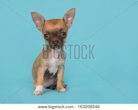 Cute sitting chihuahua puppy on a blue background