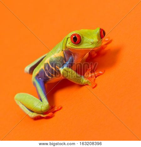 Red eyed tree frog with red eyes on orange background