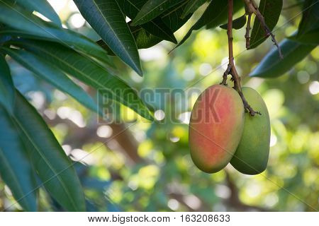 Tropical paradise - exotic mango fruit riping on the tree Tenerife Spain