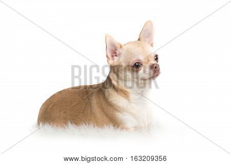 Cute adult chihuahua dog lying down on a white rug on a white background seen from the side