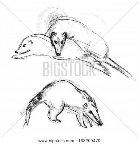 Coati. Nasua. Hand-drawn. Isolated on white background