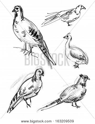 Common Pheasant. Set. Hand-drawn. Isolated on white background