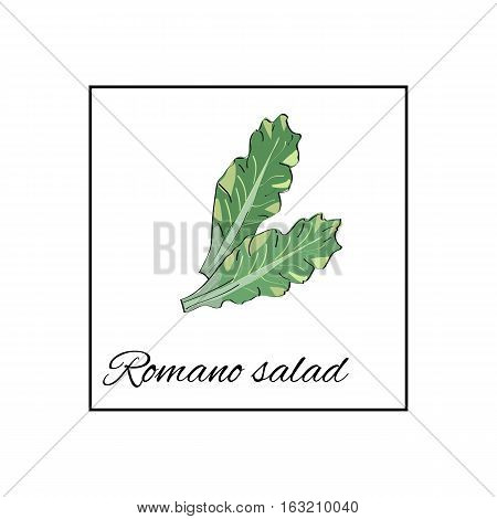 Romano salad. Isolated vector drawn vegetables on white background