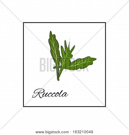 Ruccola. Isolated vector drawn vegetables on white background