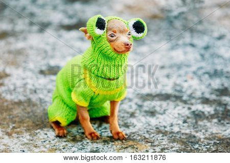 Beautiful Chihuahua Dog Dressed Up In Frog Outfit, Staying Outdoor In Cold Weather. Frozen Dog, Pet