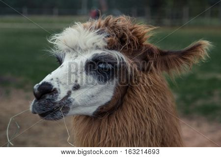 Colorful photograph of an Alpaca with wild, messy, funny hair.