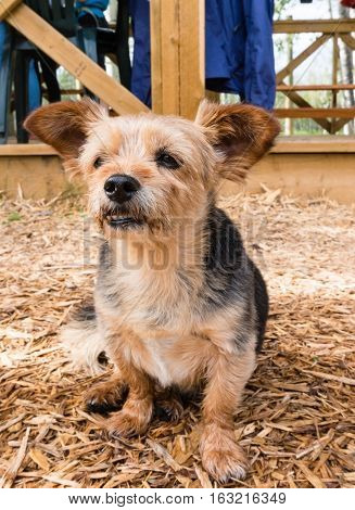 Terrier - Shih Tzu Crossbreed Dog